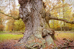 Very old oak Stock Photo