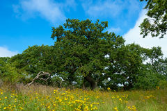 A very old oak in spring Royalty Free Stock Image