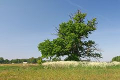 Very old oak tree. On a grass field Stock Photo