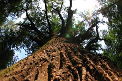 very old oak tree Stock Photo