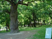 Very old oak tree. Big beautiful very old oak tree in the park Kolomenskoye in Moscow in the summer Royalty Free Stock Photo