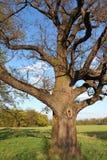 Very old oak tree in green meadow. Old oak tree in green meadow Royalty Free Stock Photos