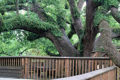 Very Old Oak Tree surrounded by wood decking. Behind University of Lafayette Library Stock Photo
