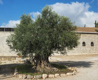 Very old olive tree , Bet Jimal Stock Image