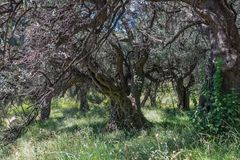 Very old olive tree in the grove stock images