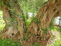 Very old olive tree growing in Greece royalty free stock image