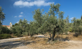 Very old olive tree Stock Photo