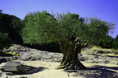 Very old olive tree Royalty Free Stock Image