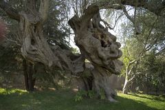 A very old olive. In Greece Royalty Free Stock Photography