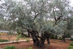 Very old olives in Gethsemane garden Royalty Free Stock Photography