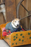 Very old pet dog in clothes on own bed Royalty Free Stock Images
