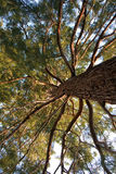 Very old pine tree. Gorgeous crown of very old, huge pine tree. Shot from low angle Stock Images