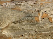 Very old plank of aged wood weathered by time and eaten by wood worms. Cracked wood board. Very old wood texture background. Orange grey khaki colour stock photo