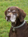 Very Old Pointing Dog Royalty Free Stock Image