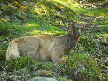 Very old red deer female laying in the woods Royalty Free Stock Images