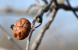 Very old rotten apple on a branch Stock Images