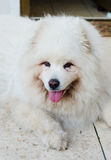 Very old Samoyed dog. Old and tired Samoyed dog resting Royalty Free Stock Photo