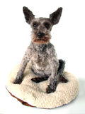 Very old Schnauzer Royalty Free Stock Image