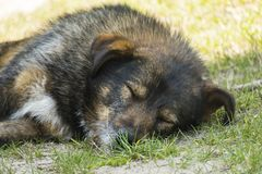 Very old shaggy wandering dog peacefully sleeping on the grass Stock Photo