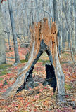 Very old stump 3 Stock Photos
