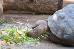 Very old tortoise Stock Images