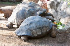 Very old tortoise Royalty Free Stock Images