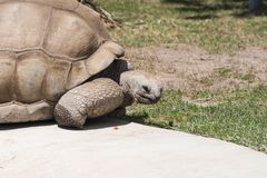 A very old tortoise stock image