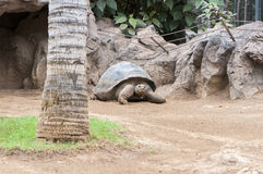 Very old tortoise Royalty Free Stock Photo
