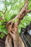 Very old tree amont chinese houses in Liujiang Royalty Free Stock Images