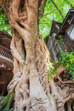 Very old tree amont chinese houses in Liujiang Royalty Free Stock Photos