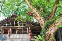 Very old tree amont chinese houses in Liujiang Royalty Free Stock Photography
