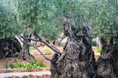 Very old tree. Ancient olive tree in a garden Stock Photography