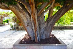 Very old tree. View on Capernaum garden in the Greek Orthodox Monastery of the Holy Apostles at Capernaum. Very old tree with big old branches. View on the royalty free stock images