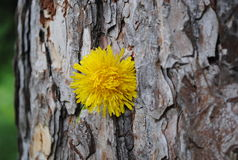 Very old tree with Dandelion 3 Royalty Free Stock Photos