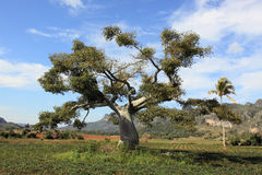 Very old tree in farmland, in cuba Royalty Free Stock Images