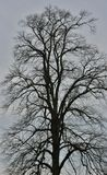 Very Old and very Tall Oak Tree Royalty Free Stock Photos