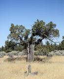 Very Old Western Hemlock, Oregon Badlands Stock Image