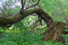 Very old willow in forest Stock Photos