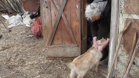 A very old woman with gray hair is playing with a little goat on the threshold of the barn. Life below the poverty line. The concept of loneliness of old men stock footage