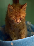 Very patient ginger kitten Stock Image