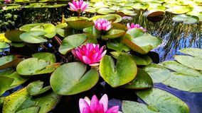 Lily,Pond,Relaxation,beauty and enjoyment,lilies in the pond royalty free stock images