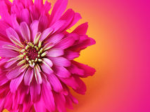 Very Pink. Pink zinnia with copy space Stock Image