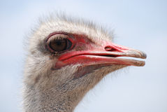 Very Pink Beak on an Ostrich Bird Royalty Free Stock Photography