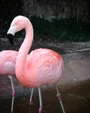 A very pink flamingo royalty free stock photo