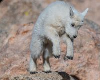 A Cute and Joyful Mountain Goat Baby Playing on the Rocks. A Very Playful Mountain Goat Lamb Frolicking on the Rocks at Mount Evans, Colorado royalty free stock photos