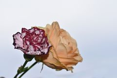 Very pretty rose with the carnation close up in the sunshine stock images