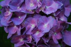 Very Pretty Blooming Purple Hydrangea Bush Stock Image