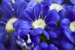 Very pretty blue spring flower close up in my garden stock image