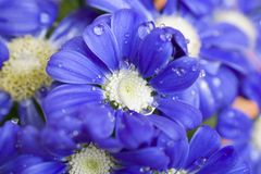 Very pretty blue spring flower close up in my garden royalty free stock images