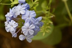 Beautiful blue summer flowers in my garden stock images